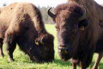 NaturNah: Die Bison-Boys – Wildwest im Grenzland